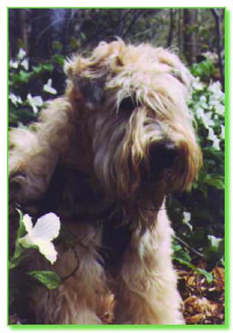 Soft Coated Wheaten Terrier Fanciers Asssociation Of Ontario