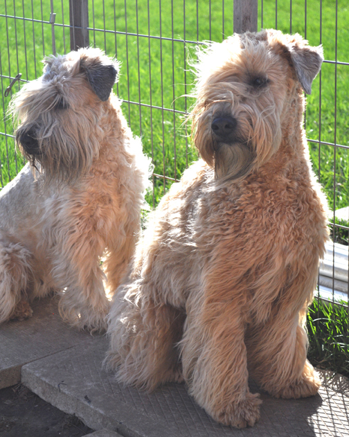 I Have Been Breeding And Showing Wheaten Terriers Since 2001 My Wheatens Are A Part Of Home Raised In Environment